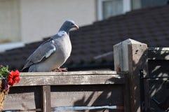鸽子休息 免版税库存图片