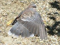 鸽子传播翼 免版税库存图片