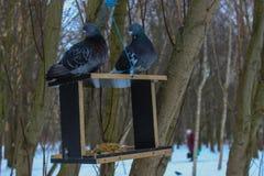 鸽子冬天鸟 库存图片