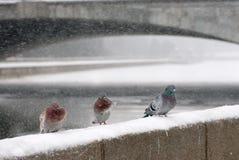 鸽子冬天 库存图片