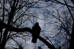 鸽子剪影 库存图片