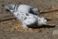 鸽子吃麦子 库存照片