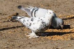 鸽子吃麦子 库存图片