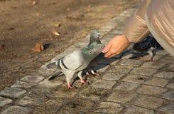 鸽子吃从一只女性手的向日葵种子 库存照片