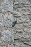 鸽子和中世纪墙壁 库存图片