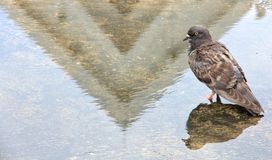 鸽子和它的反射与寺庙屋顶的阴影 免版税图库摄影