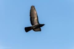 鸽子和平的鸟标志 库存图片