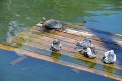 鸽子和日本乌龟 免版税库存照片