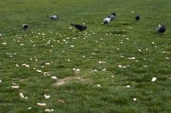鸽子和食物在绿草区域 库存照片