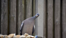 鸽子哺养 库存图片