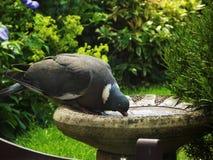 鸽子喝 免版税库存图片