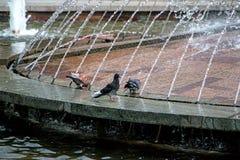 鸽子喷泉 图库摄影