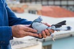 鸽子在交配动物者的手上 免版税图库摄影