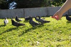 鸽子在公园 库存图片