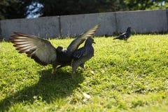鸽子在公园 免版税库存图片