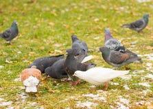 鸽子在冬天 免版税图库摄影