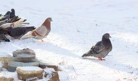 鸽子在冬天 库存照片