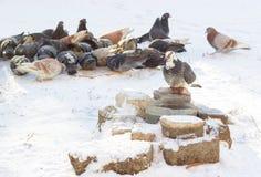鸽子在冬天 图库摄影