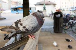 鸽子在哥特人 库存照片