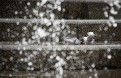 鸽子在喷泉沐浴 库存图片