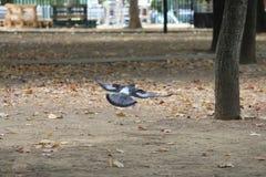 鸽子在地面上盘旋 免版税库存图片