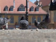 鸽子在城市锡比乌罗马尼亚 图库摄影