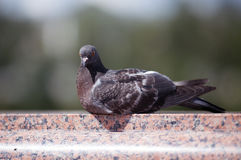 鸽子在大理石栏杆的城市 库存图片