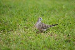 鸽子在庭院里 图库摄影