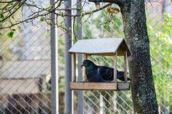 鸽子在树的一个木饲槽 免版税库存照片