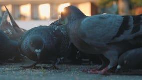 鸽子在正方形的啄五谷 从地面的缓慢的射击 鸽子在阳光下 股票视频