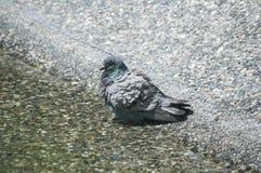 鸽子在池塘水域中 库存照片