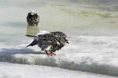鸽子在沐浴以后 免版税库存图片