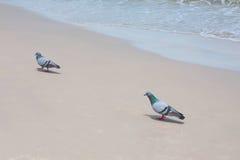 鸽子在海滩走 库存照片