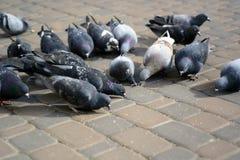 鸽子在石头吃在公园 库存照片