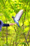 鸽子在秋天公园吃从一只妇女手的食物 免版税库存照片