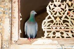 鸽子在窗口里 免版税库存照片