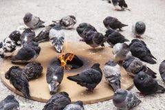 鸽子在芝加哥 库存图片