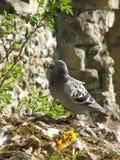 鸽子在阳光下在城堡废墟 免版税图库摄影