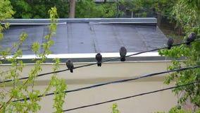 鸽子在雨中 影视素材