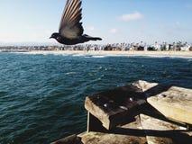 鸽子在飞行中在威尼斯海滩,加利福尼亚 库存照片