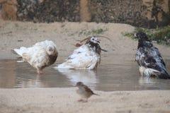 鸽子在水中 免版税图库摄影