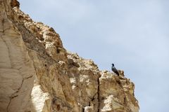 鸽子坐一个岩石在死海的一道峡谷 免版税库存图片
