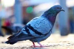 鸽子坐在一个模糊的都市场面前面的鹅卵石路面在柏林在日落 库存图片