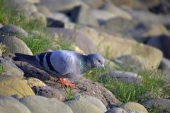 鸽子坐在sukhna湖昌迪加尔的石头 免版税库存图片