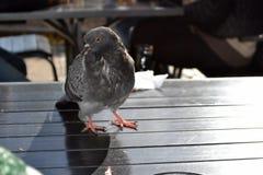 鸽子坐桌 库存图片