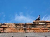 鸽子坐老砖墙 库存图片