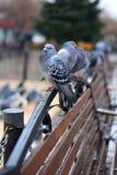 鸽子坐长凳 库存照片