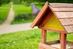 鸽子坐鸟饲养者在公园 免版税图库摄影