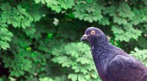鸽子城市鸟 免版税图库摄影