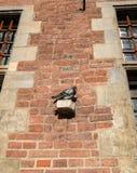 鸽子基于老城镇厅在格但斯克,波兰 库存图片